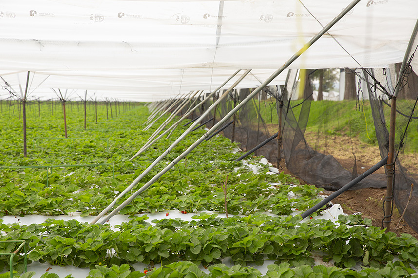 El macrotúnel tradicional diseñado por Tunneltek, es de las estructuras más utilizadas para los cultivos de fresa.