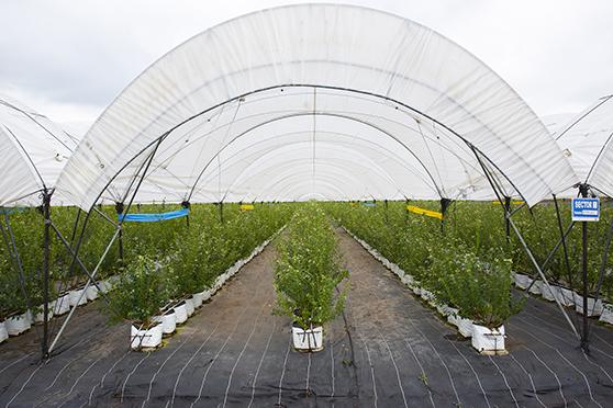 El macrotúnel híbrido de Tunneltek cuenta con una estructura sencilla que permite cubrir grandes superficies de cultivo.